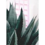 Pink Door Cactus Poster