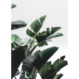 Banana Plant Poster